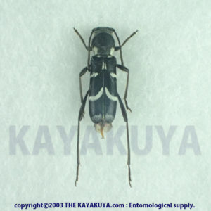 Xylotrechus reductemaculatus 1ex Japan Amamioshima-Is