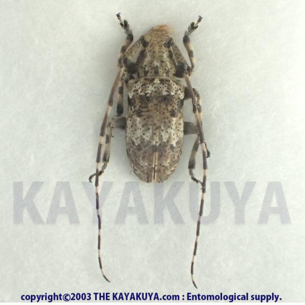 [:ja]トカラオキナワゴマフカミキリ ♂ 奄美大島 [:en]Mesosa (Perimesosa) pictipes miyamotoi ♂ Japan Amamioshima-Is[:]