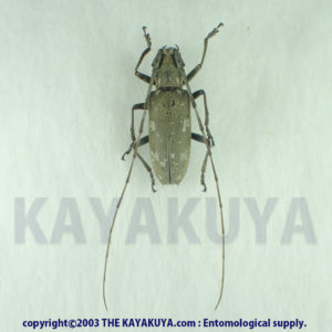 Psacothea hilaris maculata ♀ Japan Amamioshima-Is