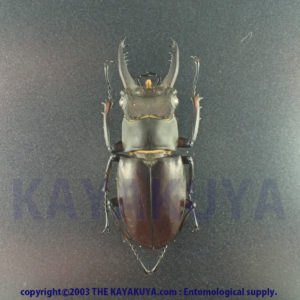 Lucanus Ferriei 37mm Male Japan Amamioshima-Is