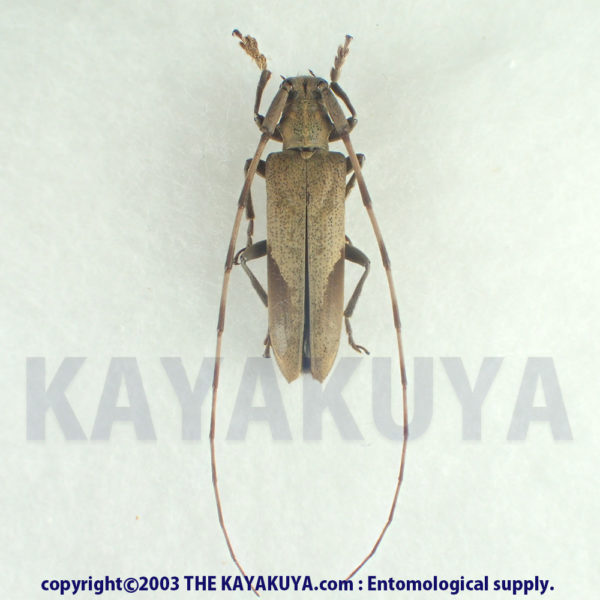 Uraecha oshimana ♀ Japan Amamioshima-Is