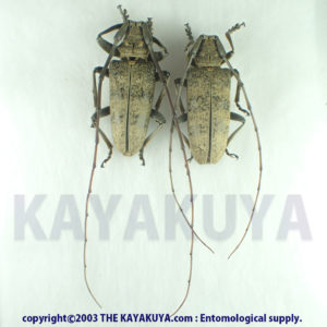 Acalolepta luxuriosa kawadai PA Japan Amamioshima-Is